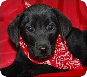 Labrador Retriever Mix Puppy for adoption in Weatherford, Texas - SPECIAL PUPS FEMALE