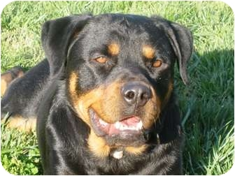 Rottweiler Mix Dog for adoption in Frederick, Pennsylvania - Zoey