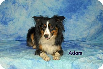 Australian Shepherd/Sheltie, Shetland Sheepdog Mix Dog for adoption in Ft. Myers, Florida - Adam