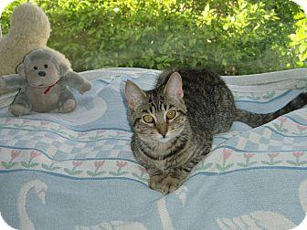 Domestic Shorthair Kitten for adoption in Randolph, New Jersey - Hammy- soooo sweet