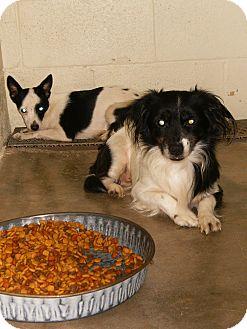 Chihuahua Mix Dog for adoption in Alamogordo, New Mexico - Daisy & Donald