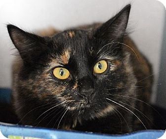 Domestic Mediumhair Cat for adoption in Gardnerville, Nevada - Ethel