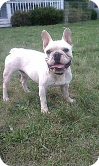 French Bulldog Dog for adoption in Chicago, Illinois - Levi
