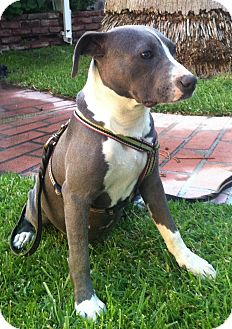 American Staffordshire Terrier Mix Puppy for adoption in Lancaster, California - Pumpkin