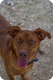 Basenji Mix Dog for adoption in Hot Springs, Arkansas - Baxter