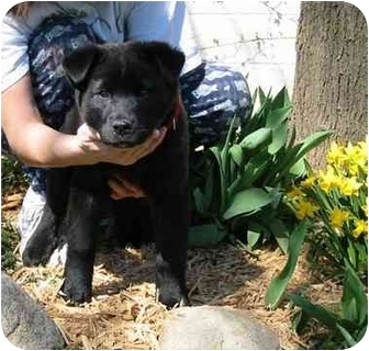 Labrador Retriever/Chow Chow Mix Puppy for adoption in New Carlisle, Indiana - Justin