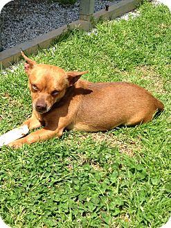 Chihuahua Dog for adoption in Shelby, North Carolina - Roady