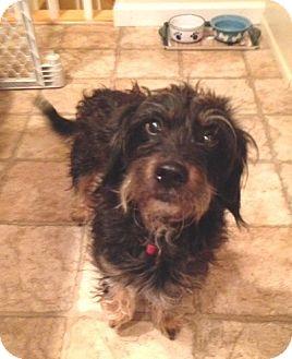 Dachshund Mix Dog for adoption in Conesus, New York - Boomer