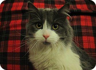 Domestic Longhair Cat for adoption in Lloydminster, Alberta - Bridge
