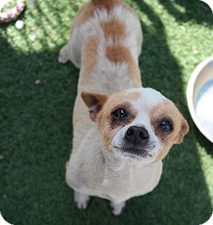 Chihuahua Mix Dog for adoption in San Pablo, California - MUSCLEMAN