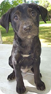 Labrador Retriever Mix Puppy for adoption in Buffalo, New York - Carson