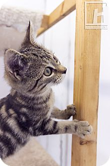 Domestic Shorthair Kitten for adoption in Baltimore, Maryland - Kendall