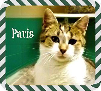 Domestic Shorthair Cat for adoption in Defiance, Ohio - Paris