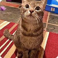 Adopt A Pet :: Dove - Jersey City, NJ