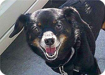 Pomeranian Mix Dog for adoption in Mount Pleasant, South Carolina - Sundae