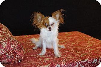 Chihuahua/Pomeranian Mix Dog for adoption in Dallas, Texas - Texie