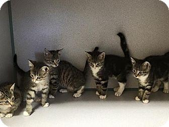 Domestic Shorthair Kitten for adoption in Zanesville, Ohio - The Seinfeld Litter