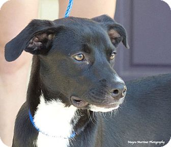 Labrador Retriever/Border Collie Mix Dog for adoption in Knoxville, Tennessee - Lincoln