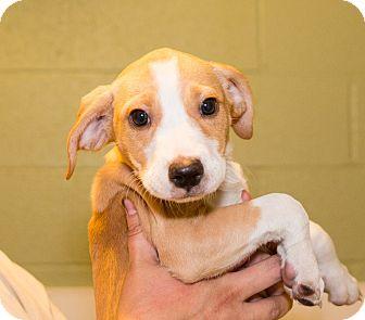 Terrier (Unknown Type, Medium)/Beagle Mix Puppy for adoption in Seville, Ohio - Madison