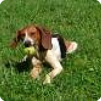 Treeing Walker Coonhound Mix Dog for adoption in Bakersville, North Carolina - Molly