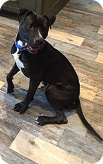 Labrador Retriever/Pit Bull Terrier Mix Dog for adoption in Columbus, Ohio - A - WILLIE