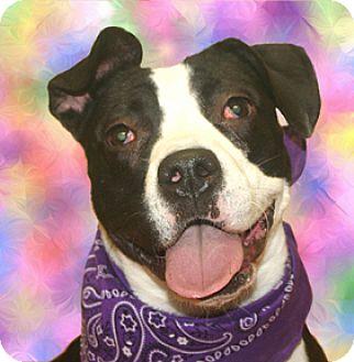 American Bulldog Mix Dog for adoption in Cincinnati, Ohio - Lady