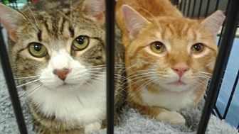 Domestic Shorthair Cat for adoption in Jenkintown, Pennsylvania - Fred and Hermoine