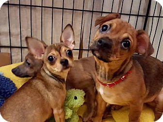 Chihuahua Mix Puppy for adoption in Charlotte, North Carolina - Sammy