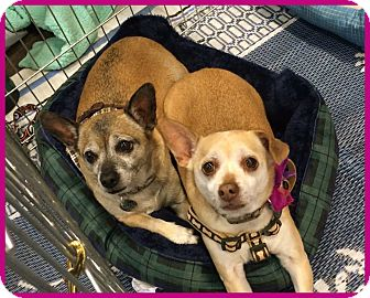 Chihuahua/Jack Russell Terrier Mix Dog for adoption in Phoenix, Arizona - Roxy & Riley