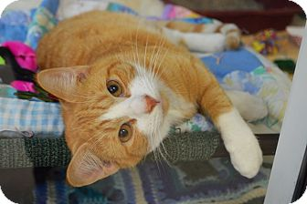 Domestic Shorthair Cat for adoption in Evansville, Indiana - Willy