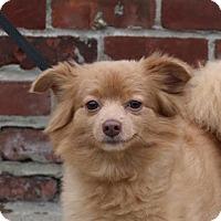 Adopt A Pet :: Angel - Brooklyn, NY