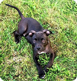 Pit Bull Terrier Mix Puppy for adoption in Sidney, Maine - Stanley