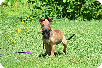 Belgian Malinois Puppy for adoption in Lebanon, Missouri - Daisy