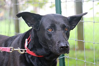 German Shepherd Dog/Labrador Retriever Mix Dog for adoption in Greeneville, Tennessee - Shiba