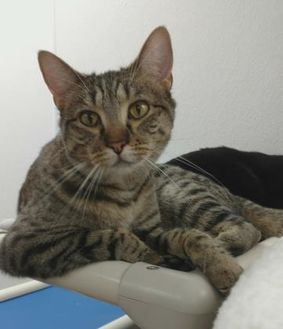 Domestic Shorthair/Domestic Shorthair Mix Cat for adoption in Decatur, Illinois - Gisele