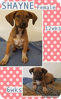 Labrador Retriever Mix Puppy for adoption in East Hartford, Connecticut - Shayne meet me 8/11