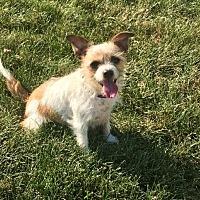 Adopt A Pet :: Taffy - St Louis, MO