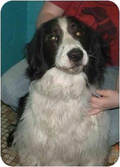 Springer Spaniel/Labrador Retriever Mix Dog for adoption in Honesdale, Pennsylvania - Zeke