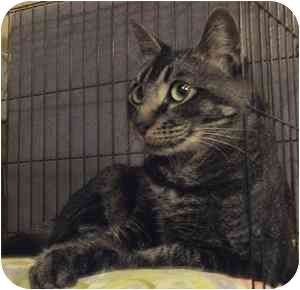 Egyptian Mau Cat for adoption in Davis, California - Chaucer