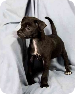 Rat Terrier Mix Puppy for adoption in Anna, Illinois - JASON