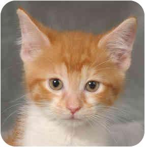 Domestic Shorthair Kitten for adoption in Chicago, Illinois - Daphne