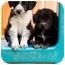 Photo 2 - Border Collie/Labrador Retriever Mix Puppy for adoption in Portland, Oregon - April
