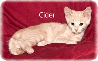 Domestic Shorthair Kitten for adoption in Brighton, Michigan - Cider