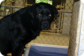 Labrador Retriever/Pit Bull Terrier Mix Dog for adoption in Henderson, North Carolina - Quick