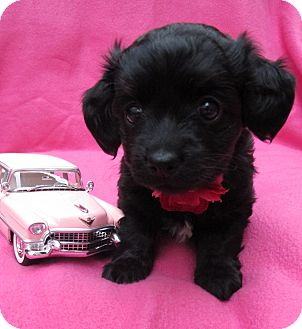 Poodle (Toy or Tea Cup)/Terrier (Unknown Type, Small) Mix Puppy for adoption in Irvine, California - Lisa Marie