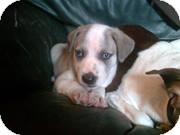 Chihuahua Mix Puppy for adoption in Detroit, Michigan - Abel-Adopted!