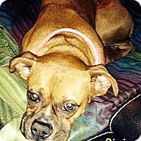 Adopt A Pet :: Pixie - St. Robert, MO