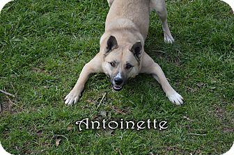Akita/Shepherd (Unknown Type) Mix Dog for adoption in Texarkana, Arkansas - Antoinette