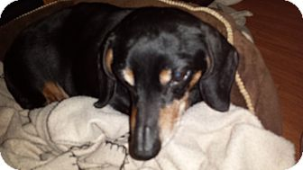 Dachshund Dog for adoption in Andalusia, Pennsylvania - Jolie