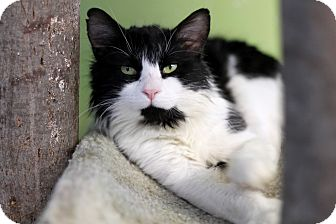Domestic Longhair Cat for adoption in Chicago, Illinois - Highlander